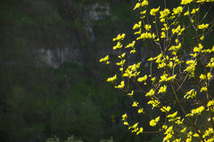 Gałąź kwitnący drzewo z jaskrawym - zieleń liście na tle mglisty krajobraz, obraz stock