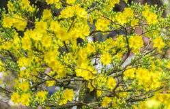 Gałąź kwitnęli Morelowego pączka kwiat w wiośnie Fotografia Royalty Free
