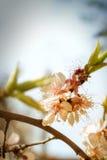 Gałąź kwitnie akacja przeciw tłu sk zdjęcia stock
