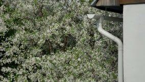 Gałąź kwitnie czereśniowi drzewa w białych kwiatach zdjęcie wideo