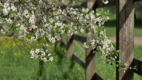 Gałąź kwitnie czereśniowi drzewa w białych kwiatach zbiory
