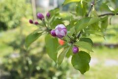 Gałąź kwitnie jabłoń na ogródzie jabłczany okwitnięcia zakończenia drzewo jabłczany Zdjęcie Stock