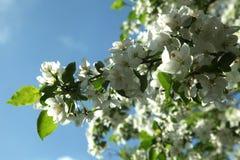 Gałąź kwitnie jabłoń przeciw niebieskiemu niebu, zamykają up Fotografia Stock