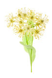 gałąź kwitnie linden zdjęcie royalty free