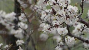Gałąź kwitnie morela na tle mokry śnieg Zakończenie zbiory wideo