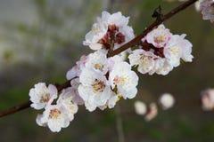 Gałąź kwitnie morelowy drzewo fotografia royalty free