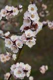 Gałąź kwitnie morelowy drzewo zdjęcia royalty free
