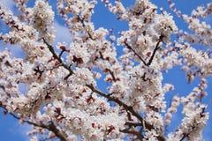 Gałąź kwitnie morelowy drzewo obraz royalty free