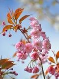 Gałąź kwitnie Orientalna wiśnia przeciw niebieskiemu niebu Obraz Stock