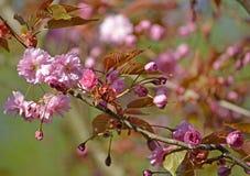 Gałąź kwitnie Orientalnej wiśni Prunus serrulata Lindl Zdjęcie Royalty Free