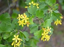 Gałąź kwitnie porzeczkowy złoty Ribes aureum Pursh Wi Obraz Royalty Free
