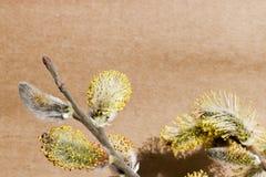 Gałąź kwitnie wierzba przeciw tłu prostacki Kraft papier zdjęcia stock