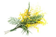Gałąź kwitnienia srebra akacja (lat Akacjowy dealbata) zdjęcia stock
