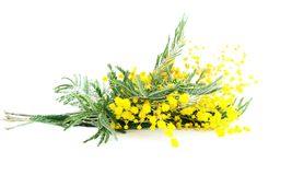Gałąź kwitnienia srebra akacja (lat Akacjowy dealbata) fotografia stock