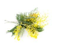 Gałąź kwitnienia srebra akacja (lat Akacjowy dealbata na bielu), zdjęcia stock