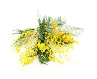 Gałąź kwitnienia srebra akacja (lat Akacjowy dealbata na bielu), odizolowywającym zdjęcia stock