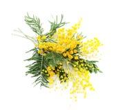 Gałąź kwitnienia srebra akacja (lat Akacjowy dealbata na bielu), odizolowywającym zdjęcie stock