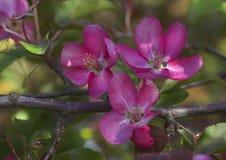 Gałąź kwitnienie menchii jabłoni zakończenie W górę widoku Fotografia Royalty Free