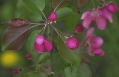 Gałąź kwitnienie menchii jabłoni zakończenie W górę widoku Obraz Stock