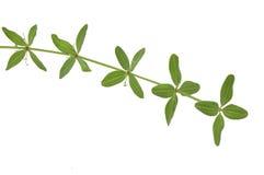 Gałąź lasowe rośliny Zdjęcia Royalty Free