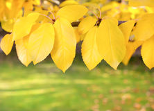 gałąź liść kolor żółty Obrazy Royalty Free