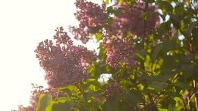 Gałąź lily kiwanie meandrują, lily okwitnięcia drzewo w ogródzie w wiosny świetle słonecznym, kwitnie ogród w wiosna zmierzchu zbiory wideo