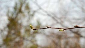 Gałąź młody brzozy drzewo pączkują natury wiosnę z bliska zdjęcie wideo