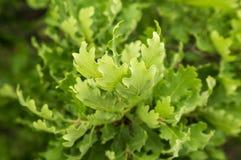 Gałąź młody słoneczny zielony dąb Fotografia Stock