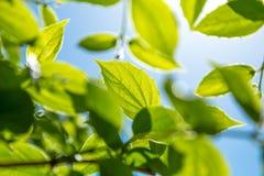 Gałąź młodzi słoneczni zieleń liście Obraz Royalty Free