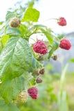 Gałąź malinka z dużymi czerwonymi dojrzałymi jagodami Uprawiać ogródek zdjęcia royalty free