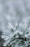 gałąź marznąca sosna Fotografia Stock