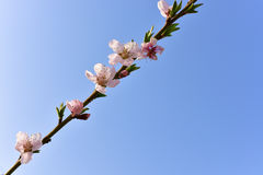 Gałąź menchie kwitnie z pogodnym niebieskim niebem Obrazy Royalty Free