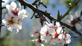 Gałąź migdałowych okwitnięć kwiatonośny migdał zbiory