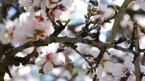 Gałąź migdałowych okwitnięć kwiatonośny migdał przy szczegółem zdjęcie wideo