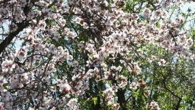 Gałąź migdałowych okwitnięć kwiatonośny migdał w drzewie przy szczegółem zbiory