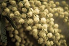 Gałąź mimozy wiosna kwitnie fotografia skutek Obrazy Royalty Free