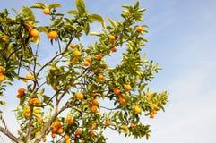 Gałąź mini pomarańcze przeciw niebieskiemu niebu (Kumquats) Zdjęcia Royalty Free