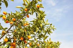 Gałąź mini pomarańcze przeciw niebieskiemu niebu (Kumquats) Zdjęcie Royalty Free