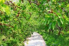 Gałąź morwowy drzewo zdjęcia royalty free