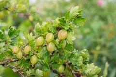 Gałąź naturalni zieleni agresty Zdjęcia Royalty Free