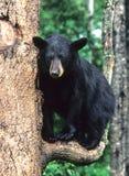 gałąź niedźwiedzi obrazy stock