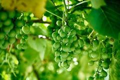 Gałąź niedojrzałych potomstw zieleni winogrona Obraz Royalty Free