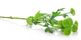 Gałąź niezwykłe zielone chryzantemy Fotografia Royalty Free