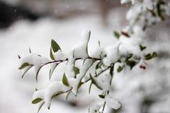 Gałąź ogarniać w śniegu Obrazy Royalty Free