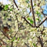 Gałąź ogrodowa śliwka w kwitnącym okresie nadchodzącej wiosny Zdjęcie Stock
