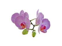 Gałąź orchidee Zdjęcia Stock
