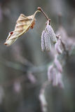 Gałąź orzechowy gaj w opóźnionej jesieni Zdjęcie Stock