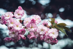Gałąź owocowy drzewo w menchii okwitnięciu Obraz Stock