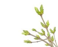 gałąź pączkuje wiosna Zdjęcie Royalty Free