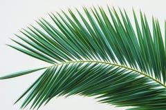 Gałąź palma Palma liście odizolowywający Zieleni palma liście odizolowywający Obraz Royalty Free
